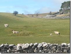 Lambs @Kirkby Stephen
