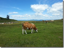 Cows at Villach Road Summit.