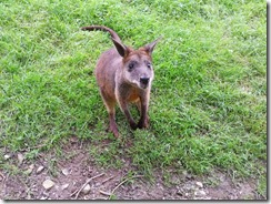 Helen's Parma Wallaby friend